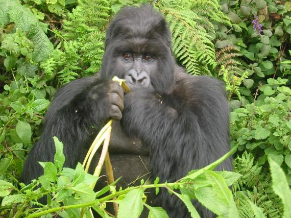 Gorilla eating a banana